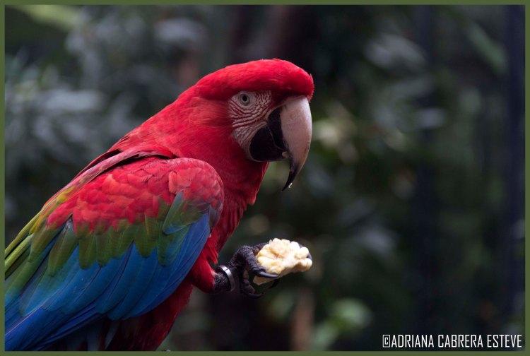 Parque de las Aves - Guacamayos4