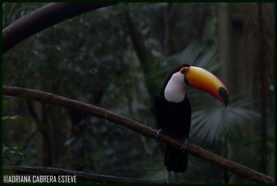 Parque de las Aves-Tucán